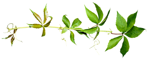 Tubes arbres feuilles for Plante 5 feuilles
