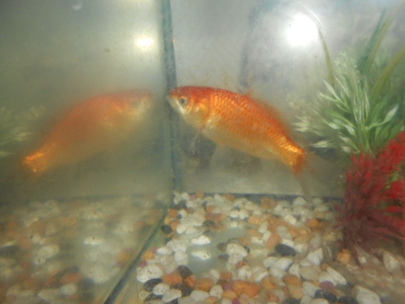 Mon poisson rouge for Poisson rouge a donner