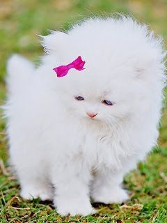 White Baby Kittens With Blue Eyes animaux chats e...